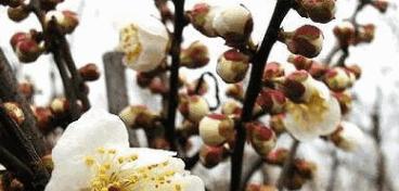 供应梅花=腊梅、桂花--绿化苗木!