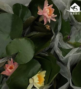 水生草本植物室内外花卉盆栽 四季易播水养植物睡莲小盆栽 批发