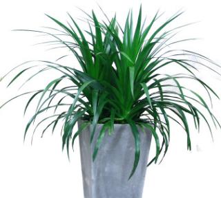基地直销优质龙血树苗室内花卉盆栽家庭园艺四季常青观叶植物