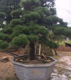 批发供应日本黑松,造型黑松,日本黑松,黑松盆景