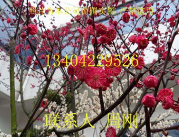 苏州梅花树种植基地、大型梅花树苗圃、梅花盆景、苏州香雪海梅花