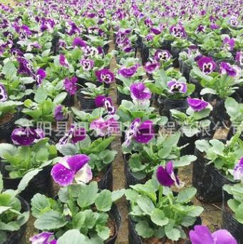 三色堇基地批发 绿化带装饰草花 盆栽三色堇 品种齐全 量大从优