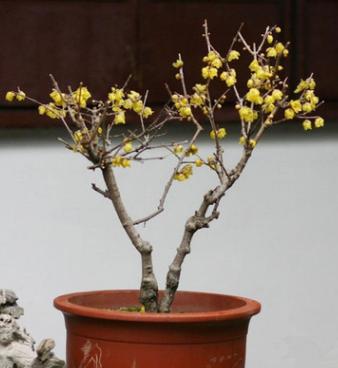 腊梅树苗 腊梅盆景 素心腊梅 盆栽嫁接腊梅花冬季开花植物