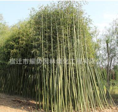 竹子苗批发盆栽青竹清水淡竹 青竹苗品种齐全园林观赏植物紫竹
