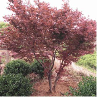 供应各种规格绿化工程日本红枫 丛生红枫 北方红枫丛生五角枫