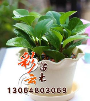 特价批发盆栽 豆瓣绿 净化空气 吸甲醛 可水培土培 青叶碧玉