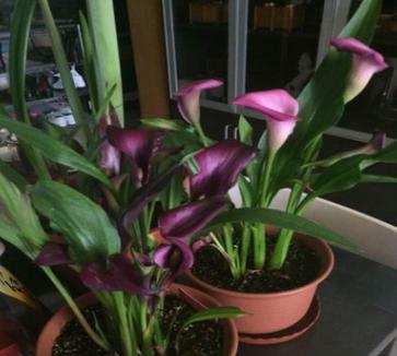 批发进口 彩色马蹄莲 马蹄莲种球 花卉盆栽种球 颜色齐全