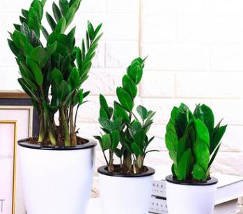 特价高档绿植金钱树盆栽 室内客厅花卉招财摇钱树 净化空气吸甲醛