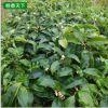 桂花树苗基地批发 八月桂 四季桂小苗 品种齐全 绿化园林苗木