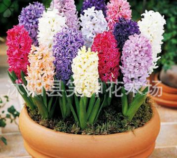 基地批发风信子种球 水培室内外盆栽花卉风信子种球颜色齐全