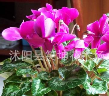 盆栽 仙客来花卉 室内盆栽绿植 优质花卉 观花植物 量大优惠