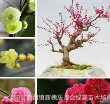 四季梅花苗 循环开花 红梅苗 素心梅 腊梅花苗 植物庭院盆栽花卉