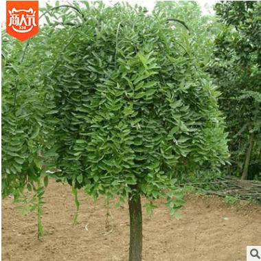 【供应各种工程苗木 花卉 基地直销 优质 垂槐