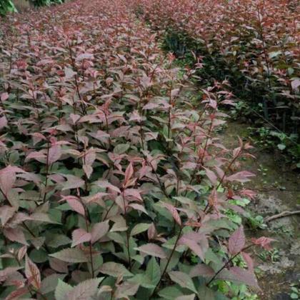 基地批发红叶榆叶梅 园林绿化工程 复叶槭小苗 行道风景树1