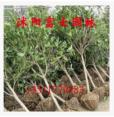 供应桂花绿化苗木 丹桂 金桂 银桂 品种多样 基地直销