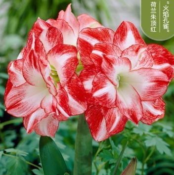 朱顶红盆栽进口重瓣种球大带花四季种植室内盆栽花卉观花植物好养