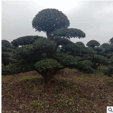供应椤木石楠 造型椤木石楠园林绿化景观苗木椤木石楠桩