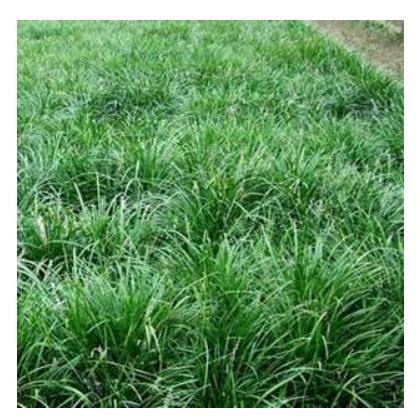 优质麦冬草,供应麦冬草,大量麦冬草
