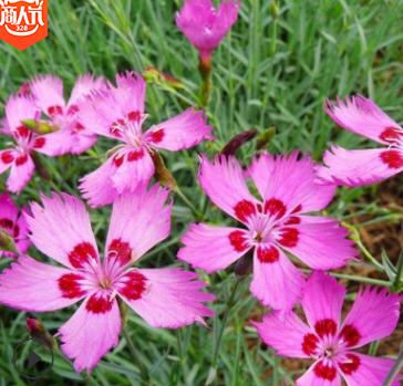 辽宁花卉基地销售耐寒花卉花海工程苗木 地被石竹 常夏石竹