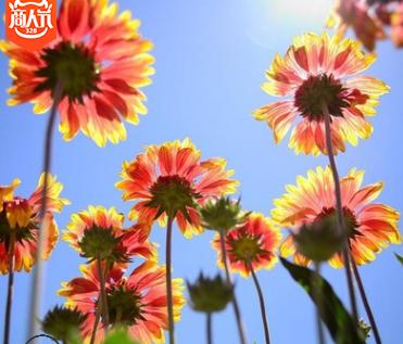 全国常年供应耐寒宿根地被花卉 天人菊 多年生分蘖力强花期长