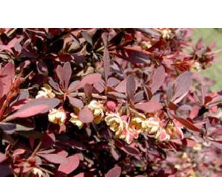 红叶小檗苗圃正宏红叶小檗基地正宏红叶小檗价格