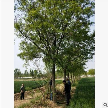 专业供应:国槐树20公分一级树二级树规格齐全