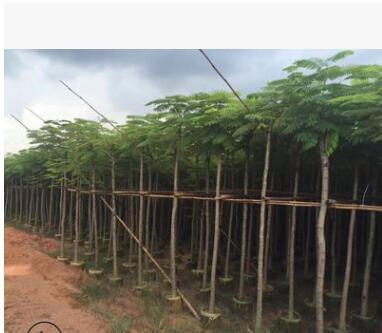 凤凰木园林5公分凤凰木多种规格绿化工程苗木批发名贵风景树种类