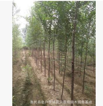 专业供应榆树 白榆 野生榆树规格齐全 量大从优