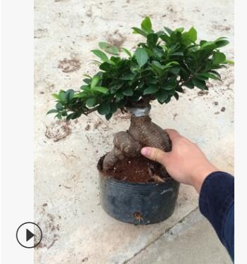 室内盆栽花卉中小型 批发 零售 小叶榕 地瓜榕 榕树桩盆景