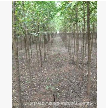 秋季供应优质 榆树苗 白榆树 欢迎订购