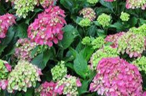 大量批发八仙花盆景 室内盆景 净化空气 量大价格优惠