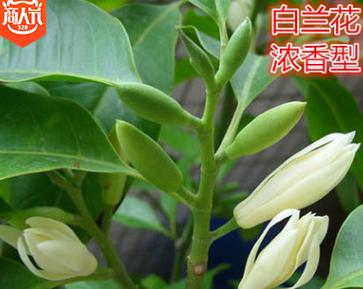 绿植白兰花苗十里香味独特白兰花盆栽花卉绿植白玉兰花树苗