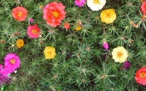 各色太阳花种子 重瓣 红色太阳花种子 耐热耐旱不择土壤 新手推荐