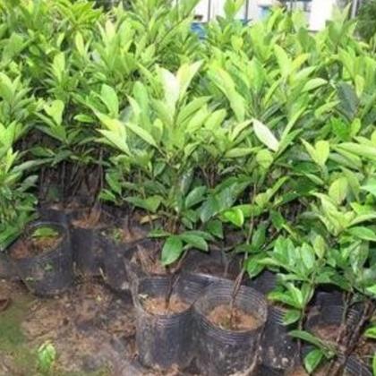批发园林植物红花含笑树苗
