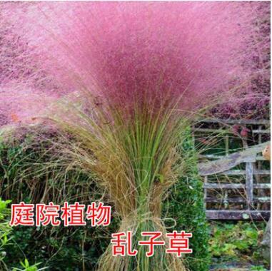 粉黛乱子草种子 多年生观赏草 特价毛芒乱子草 粉米利草 庭院花卉