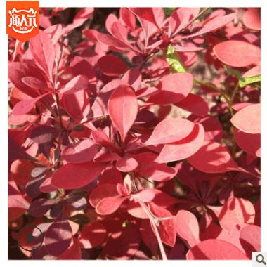 红叶小檗色块苗批发 绿化苗木基地 园林绿化风景树苗 灌木花苗