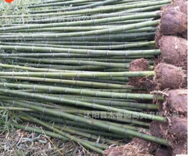 青竹1公分到10公分青竹苗毛竹苗规格齐全量足园林庭院绿化竹