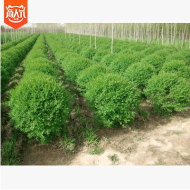 常年供应苗木 树苗 工程绿化苗木 小叶女贞球批发 价廉物美