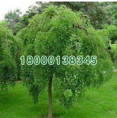 苗木批发绿化工程垂槐小苗 规格齐全 园林绿化工程苗木 垂槐