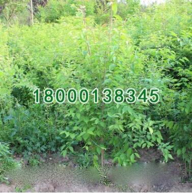 批发优质绿化苗木 金银木苗 根系发达 规格齐全 绿化环境 金银木