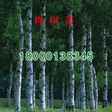 批发工程绿化小苗 白桦小苗 规格齐全 绿化苗 绿化环境 树形优美