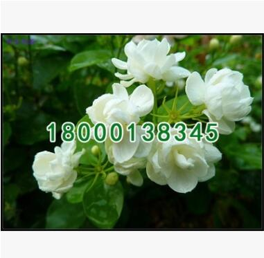 基地批发绿化苗木 茉莉花小苗 盆栽白色茉莉 室内绿色植物花卉