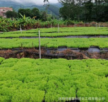 屋顶隔热美化 地被植物 佛甲草 易养护 楼顶绿化 佛指草青叶