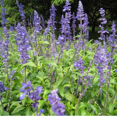 基地批发优质草花卉蓝花鼠尾草花期长家庭工地适用地被量大从优
