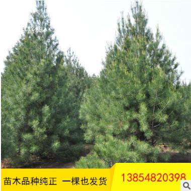 大量出售2-3米华山松 工程绿化用华山松 带土球发货华山松树