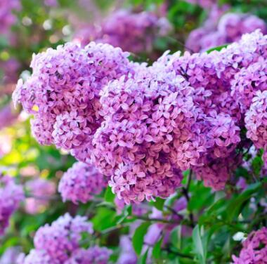 庭院绿化紫丁香树苗 丁香花苗 嫁接丁香树苗耐寒花卉植物当年开花