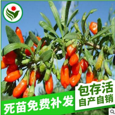 基地批发 优质中国枸杞王果树苗 盆栽果树苗 枸杞树苗批发