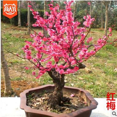 红梅花老桩盆景树桩红梅树苗乌梅绿梅室内盆栽绿植包邮