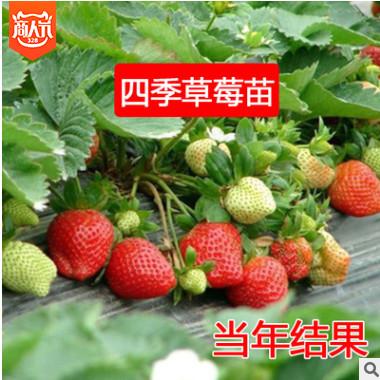 四季草莓苗 攀援草莓爬藤草莓苗果树苗 套装 盆+土+苗3颗