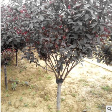 热销产品8公分矮樱供应 河北绿化苗木基地 矮樱树苗批发价格